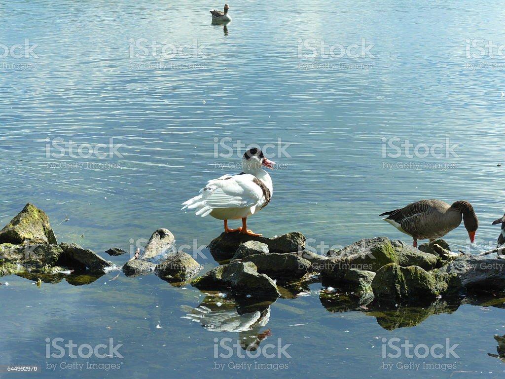unique duck stock photo