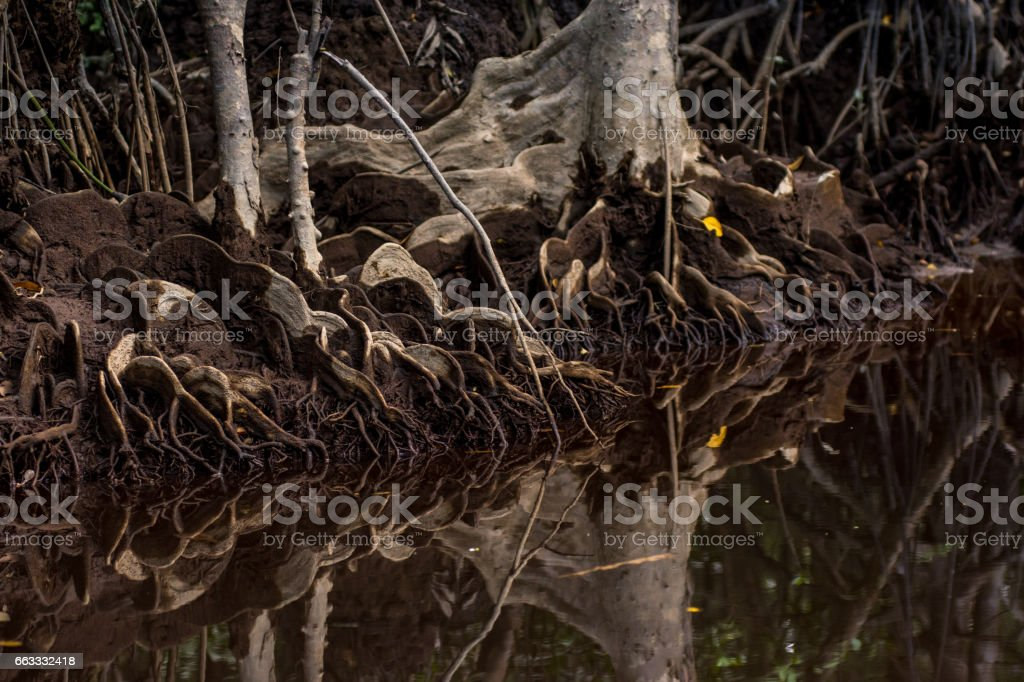 Unique mangrove tree roots on the bank of a still river with detailed reflection stock photo