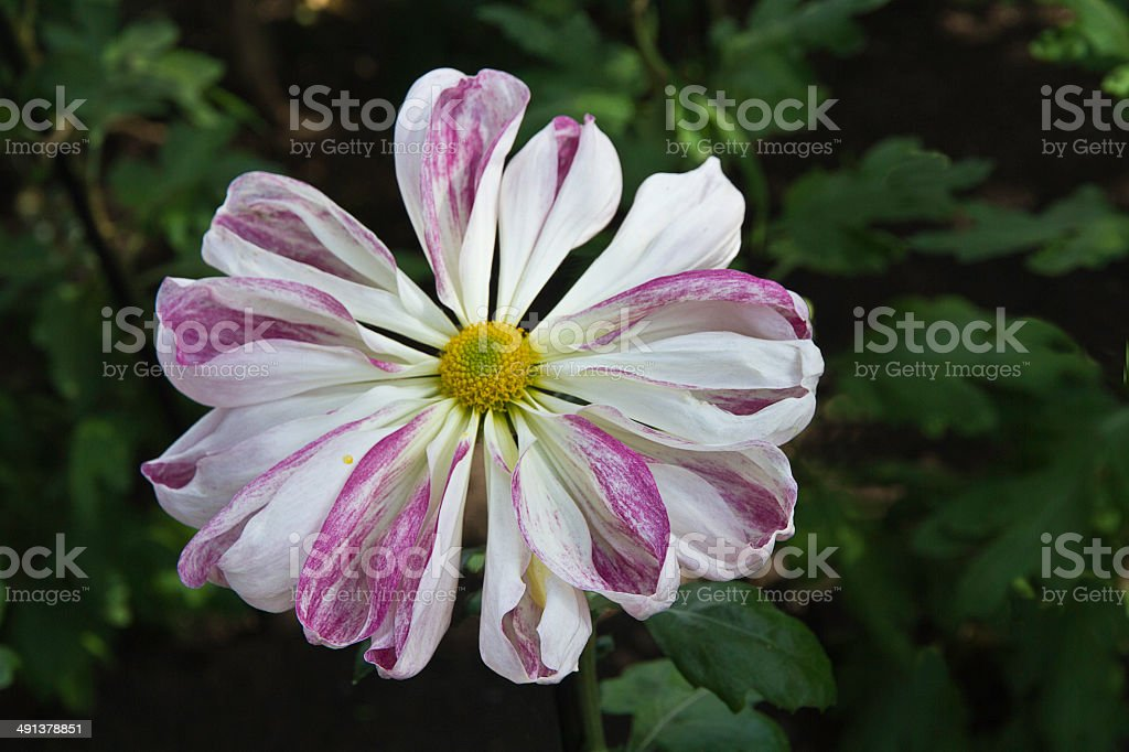 Unique pink and white Crysanthemum with bi-colored  ray flowers stock photo