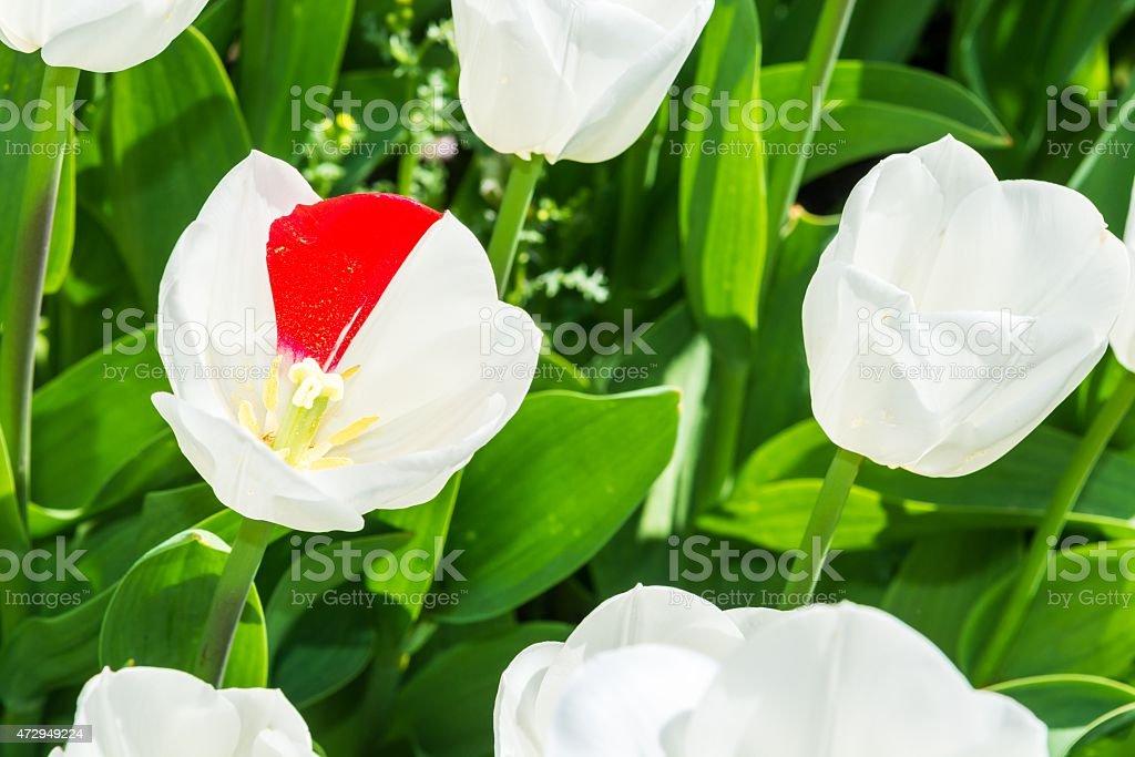 Unique two color tulip. stock photo