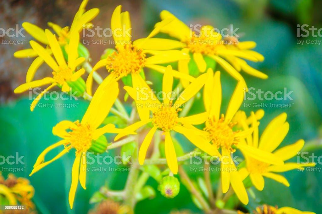 Unknown yellow flowers  growing on the walking street in Jeju city, Jeju, South Korea stock photo