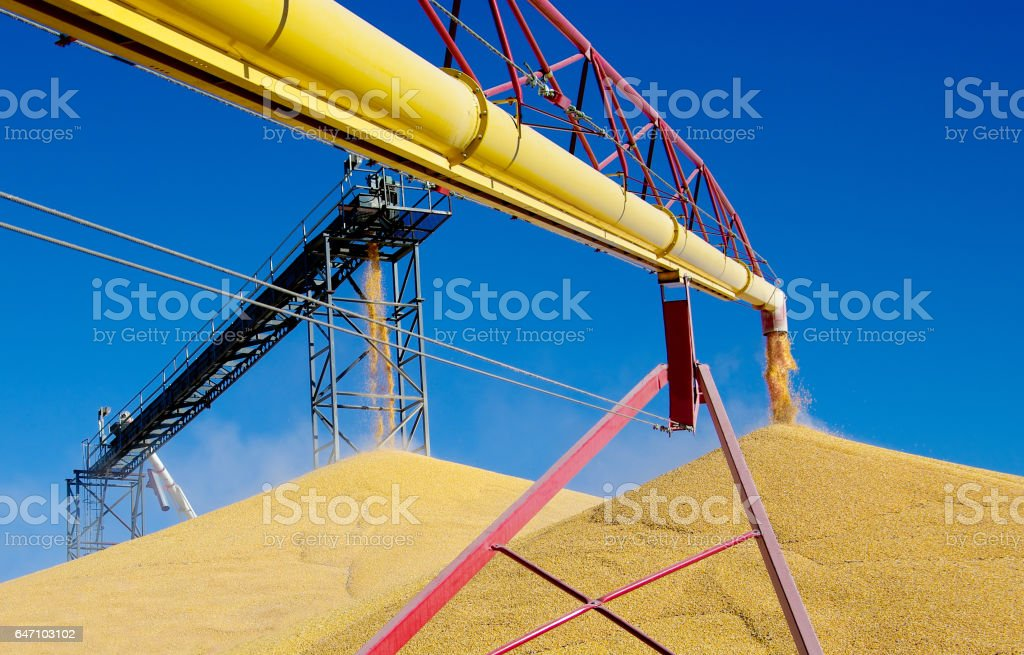 Unloading Corn stock photo
