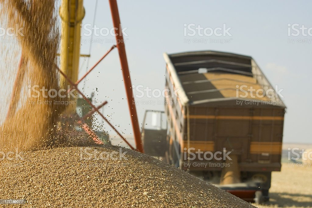 unloading grain truck stock photo