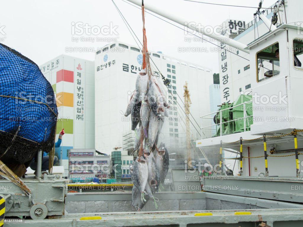 Unloading of a frozen tuna from vessel hold. stock photo