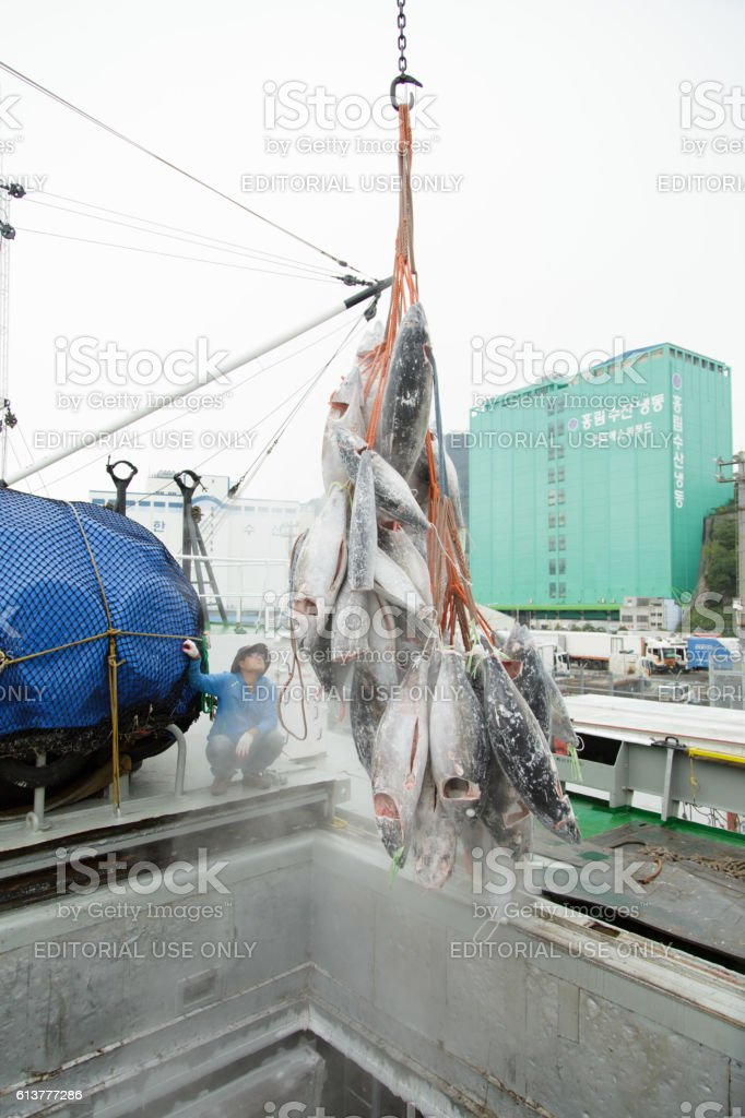 Unloading of a tuna from vessel hold. stock photo
