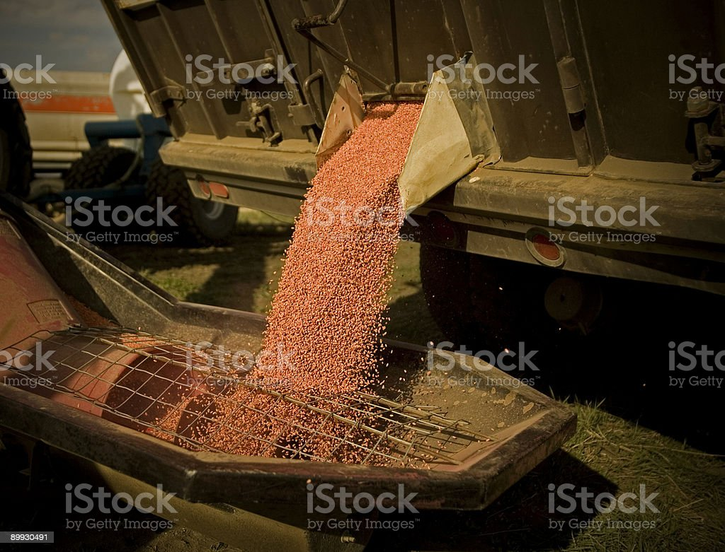 Unloading treated red wheat seed royalty-free stock photo