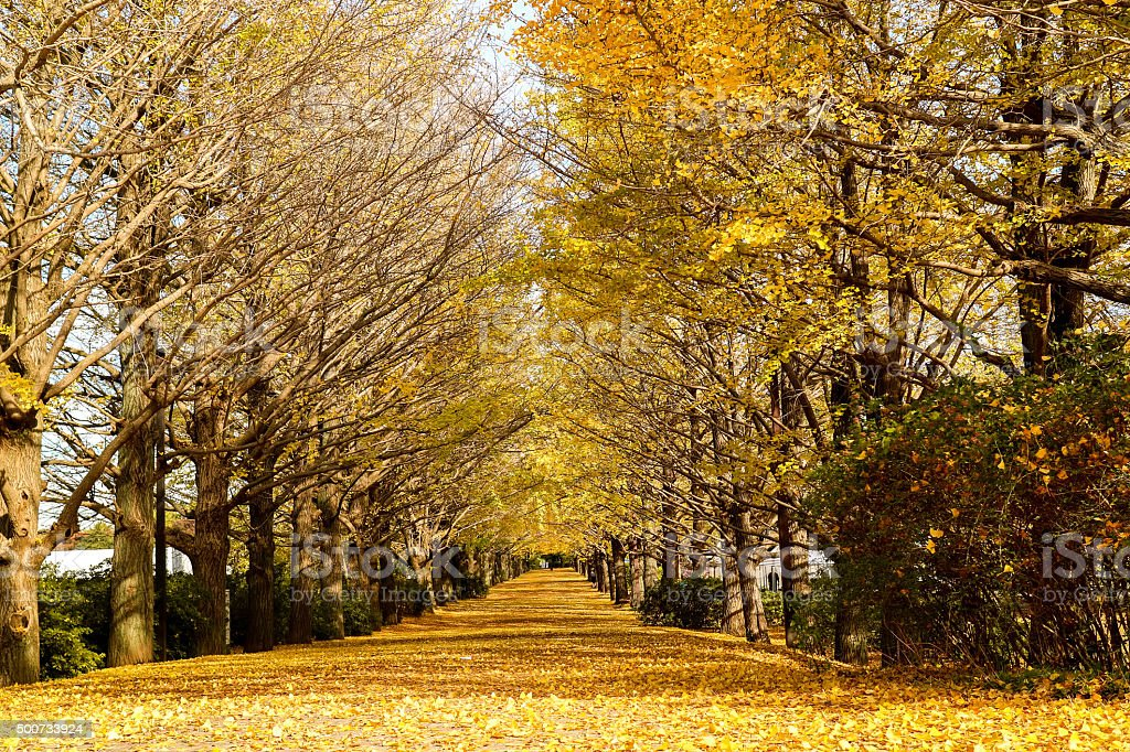 [Unmanned] ginkgo tree-lined autumn leaves stock photo