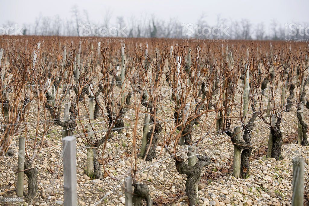 Unpruned grape vines in Bordeaux during winter royalty-free stock photo