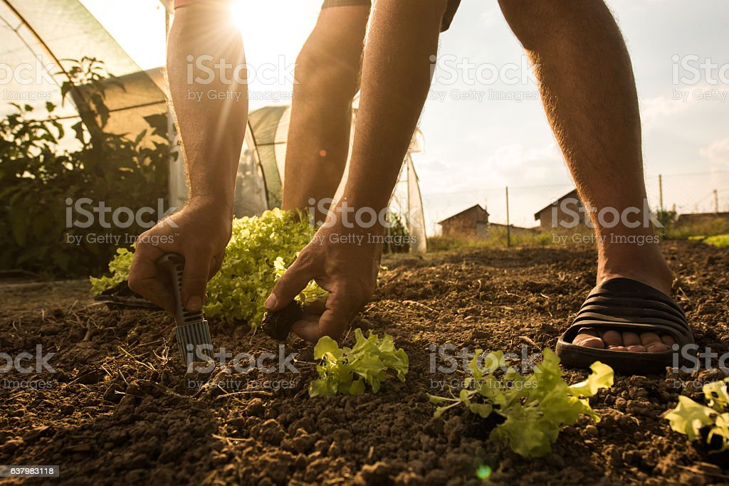 Unrecognizable farmer seeding lettuce on a field. stock photo
