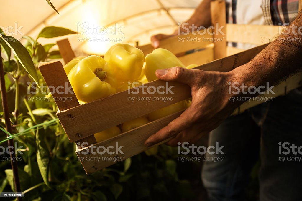 Unrecognizable farmer with a wooden crate full of bell peppers. stock photo