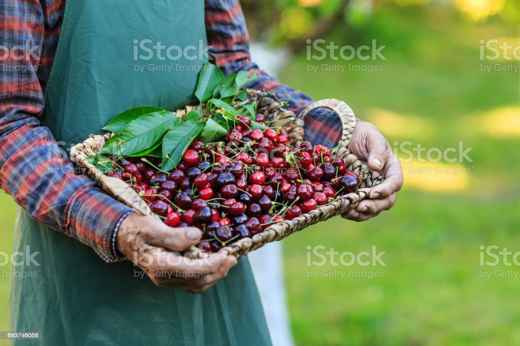 Unrecognizable mature man holding a basket with cherry fruits stock photo