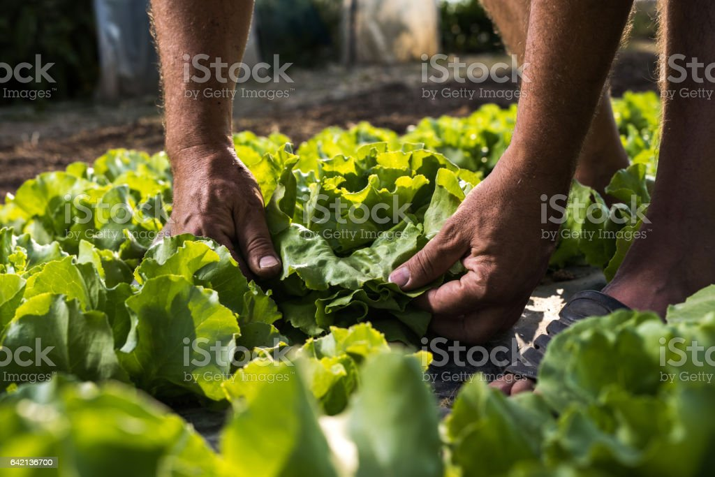 Unrecognizable person picking butter head lettuce from vegetable garden. stock photo