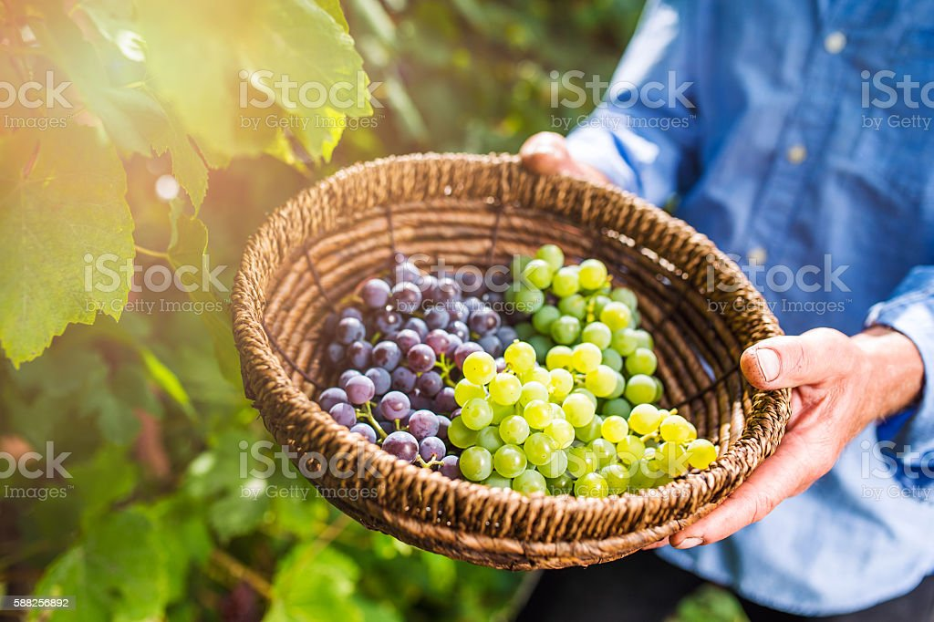 Unrecognizable senior man holding a basket with grapes stock photo