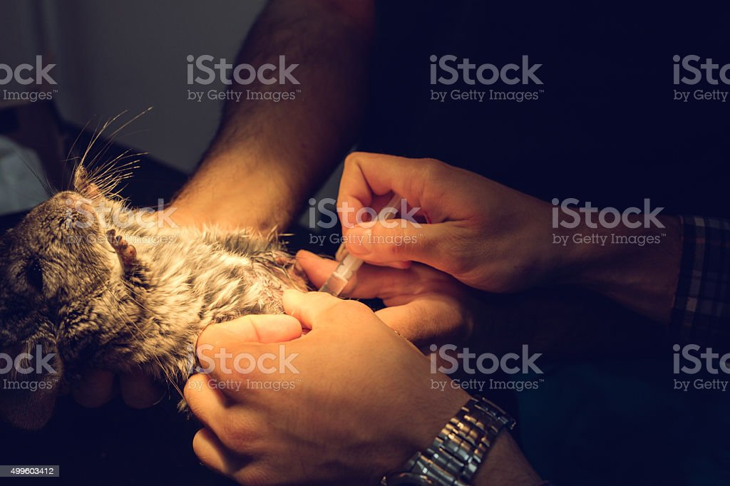 Unrecognizable veterinarians vaccinating a small chinchilla. stock photo
