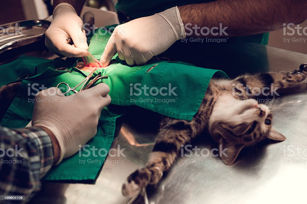 Unrecognizable vets performing a surgery on a cat. stock photo