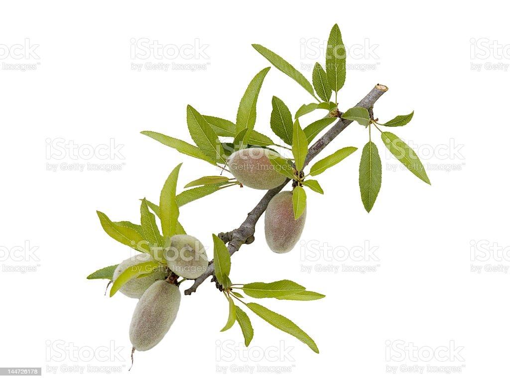 Unripe almonds on a twig stock photo
