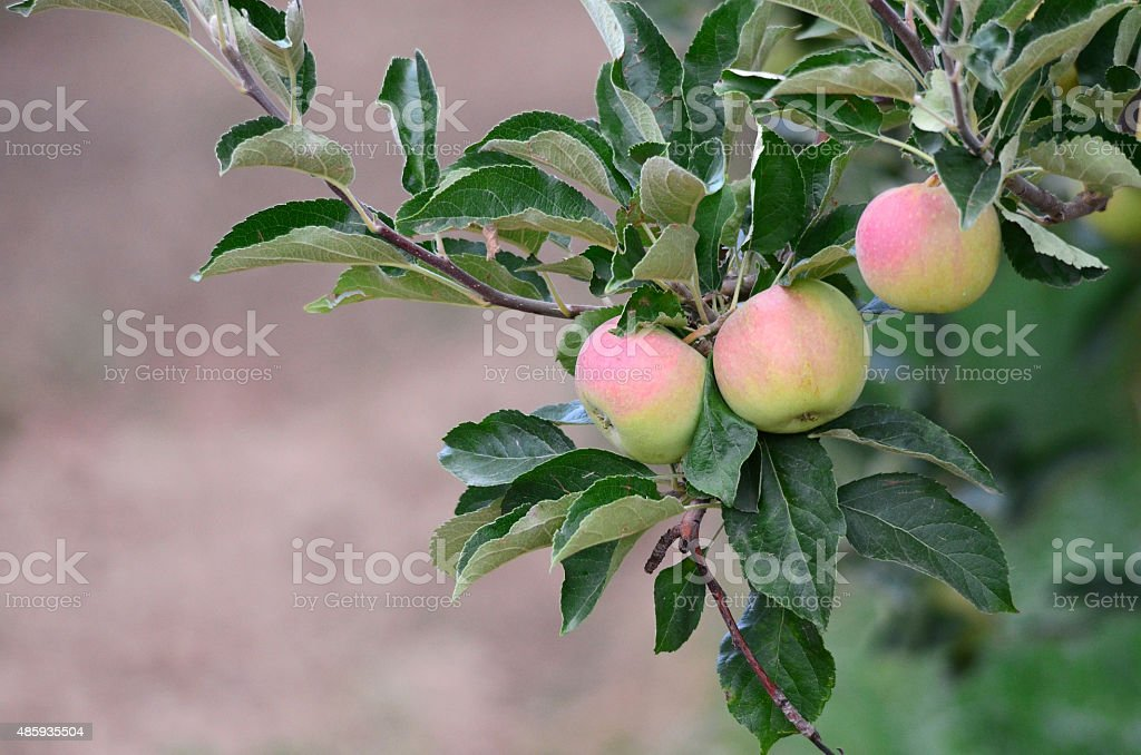 Unripe apples hanging on a branch at orchard stock photo