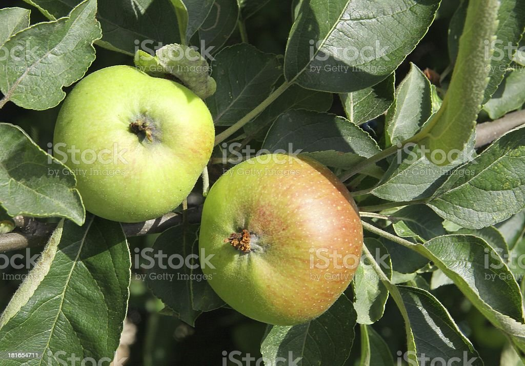 unripe apples in orchard on fruit tree royalty-free stock photo