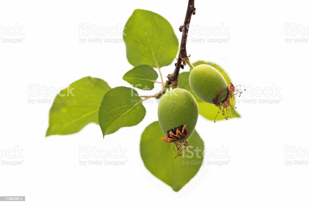 Unripe apricots on a branch royalty-free stock photo