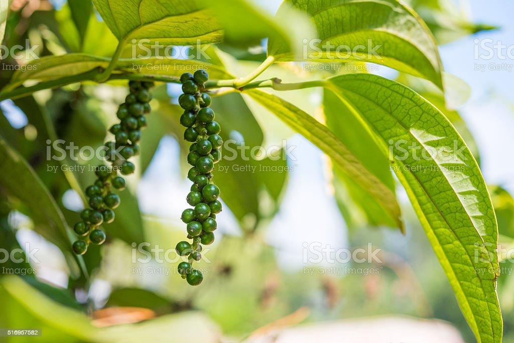 Unripe black pepper stock photo