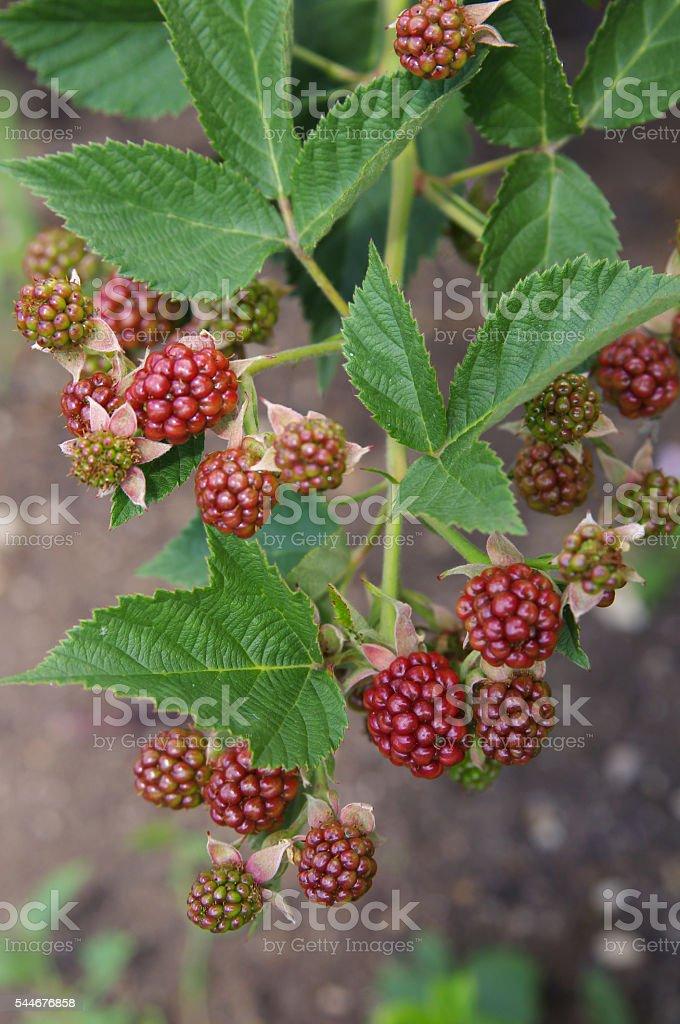 Unripe blackberries on a branch closeup stock photo