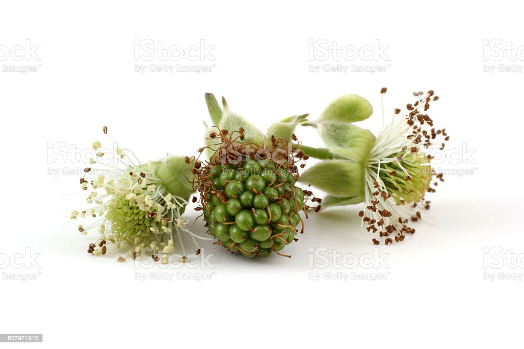 Unripe blackberry with buds stock photo