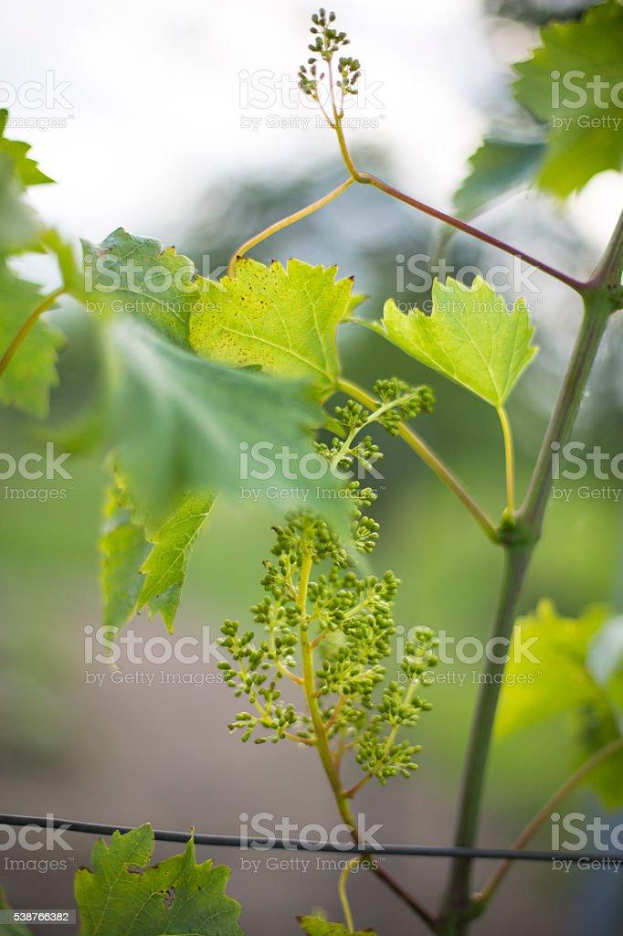 Unripe Cabernet Sauvignon stock photo