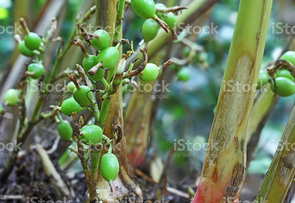 Unripe Cardamom Pods in Plant stock photo