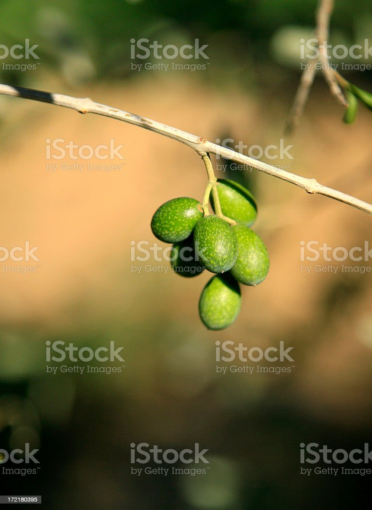 Unripe Chianti Green Olives royalty-free stock photo