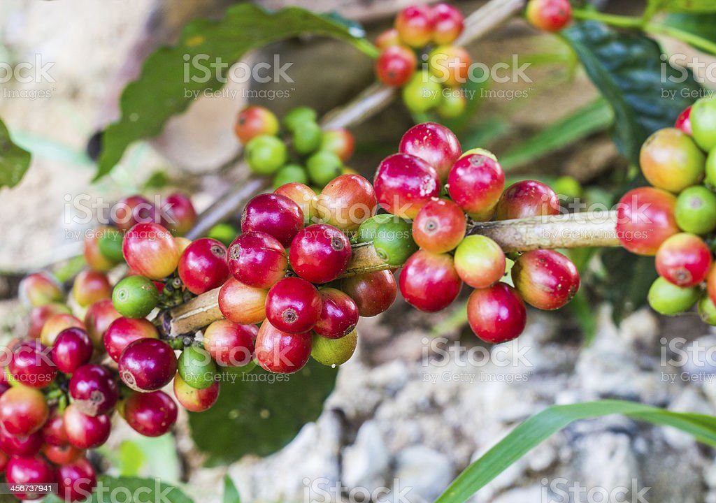 unripe coffee beans on the  tree stock photo