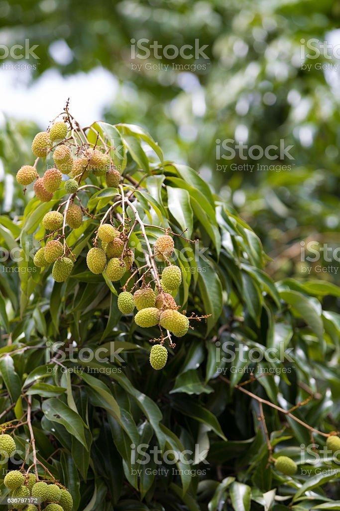 Unripe exotic fruit Lychee, madagascar stock photo