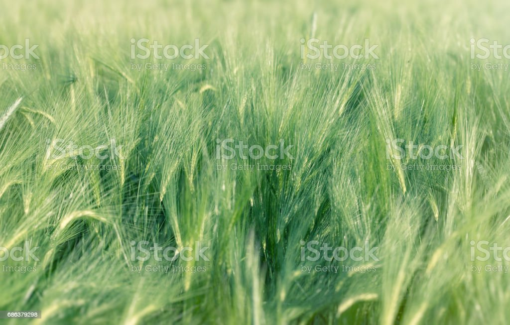 Unripe field of agricultural crop ( wheat, oat, rye, barley) stock photo