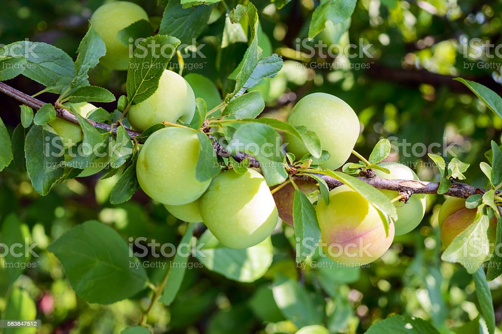 Unripe fruits plums (variety: 'Greengage') on the branches stock photo