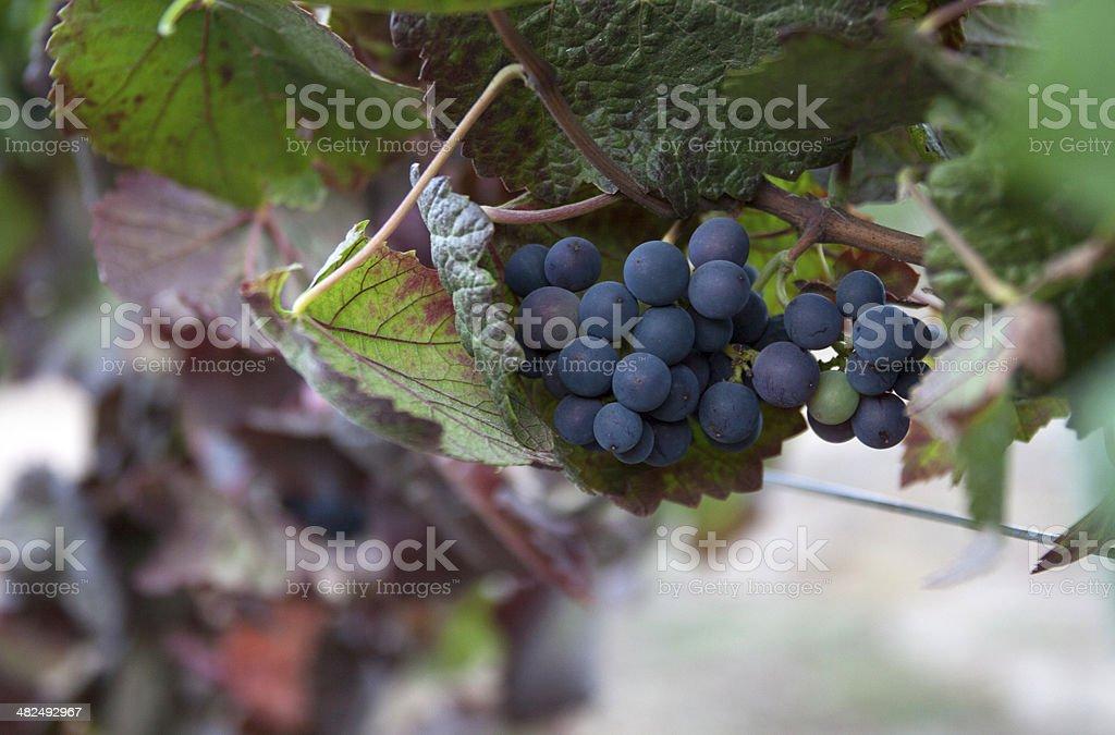 unripe grapes stock photo