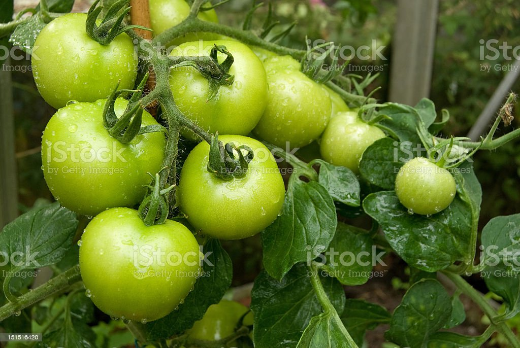 Unripe green tomatos on the vine stock photo