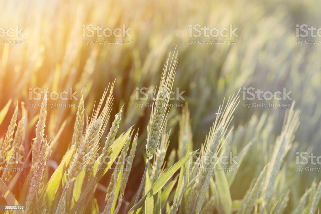 Unripe green wheat field (green wheat field) - green wheat field lit by sunlight stock photo