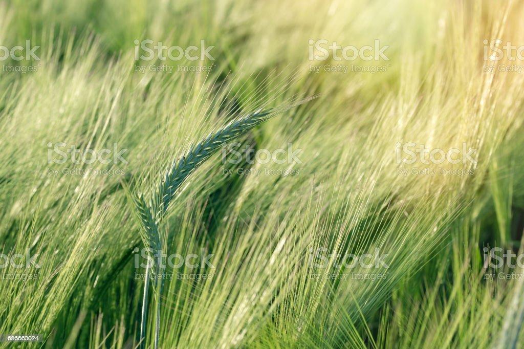 Unripe, green wheat, oat, rye, barley stock photo