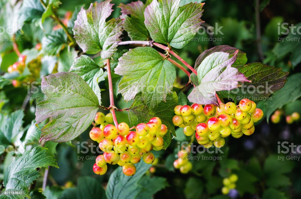 Unripe Guelder-rose berries on a branch stock photo