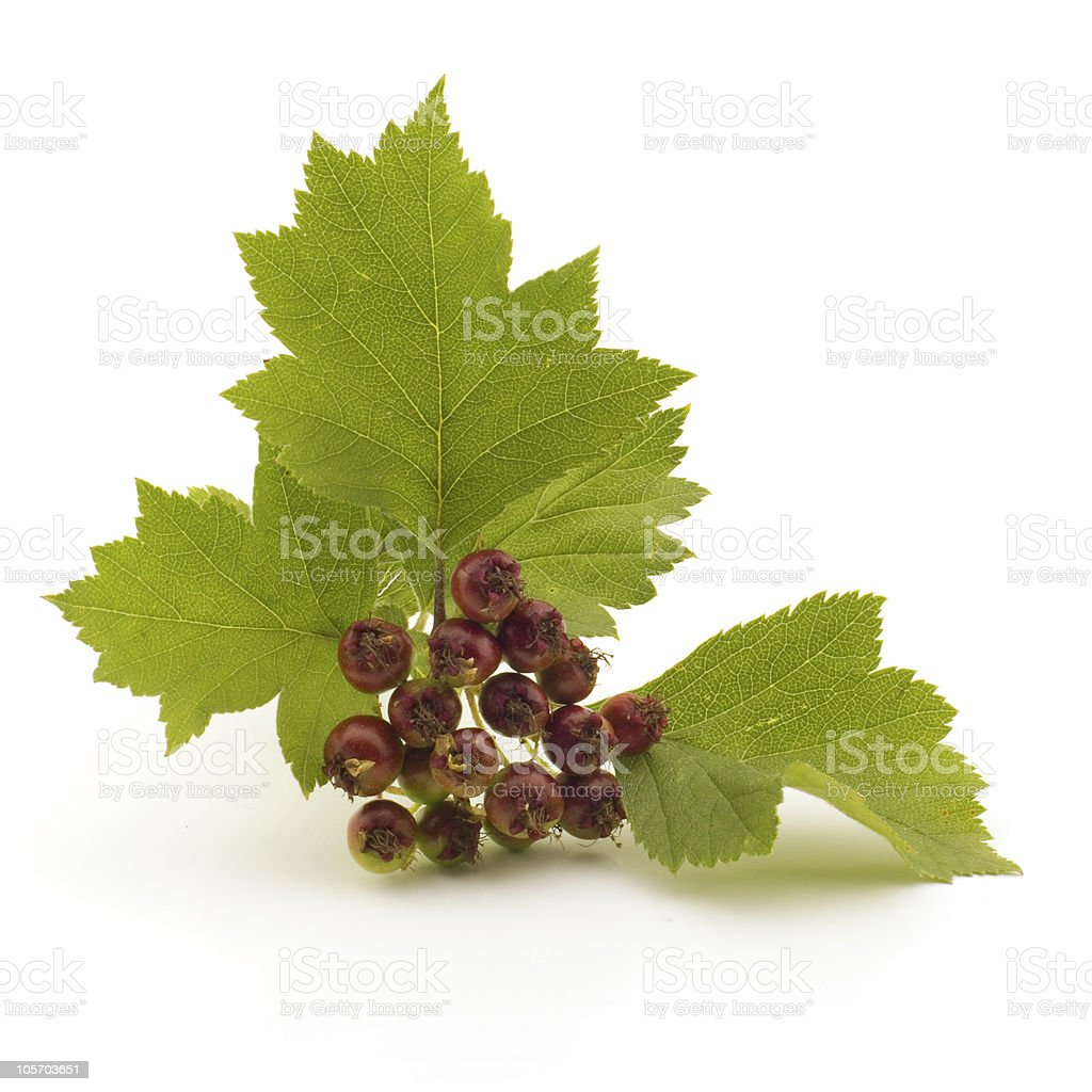 Unripe haw berries on a branch, isolated royalty-free stock photo