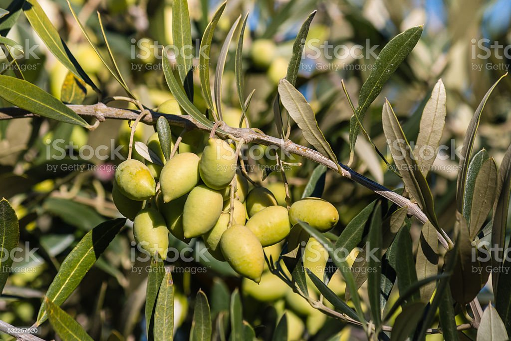 unripe kalamata olives on olive tree branch stock photo