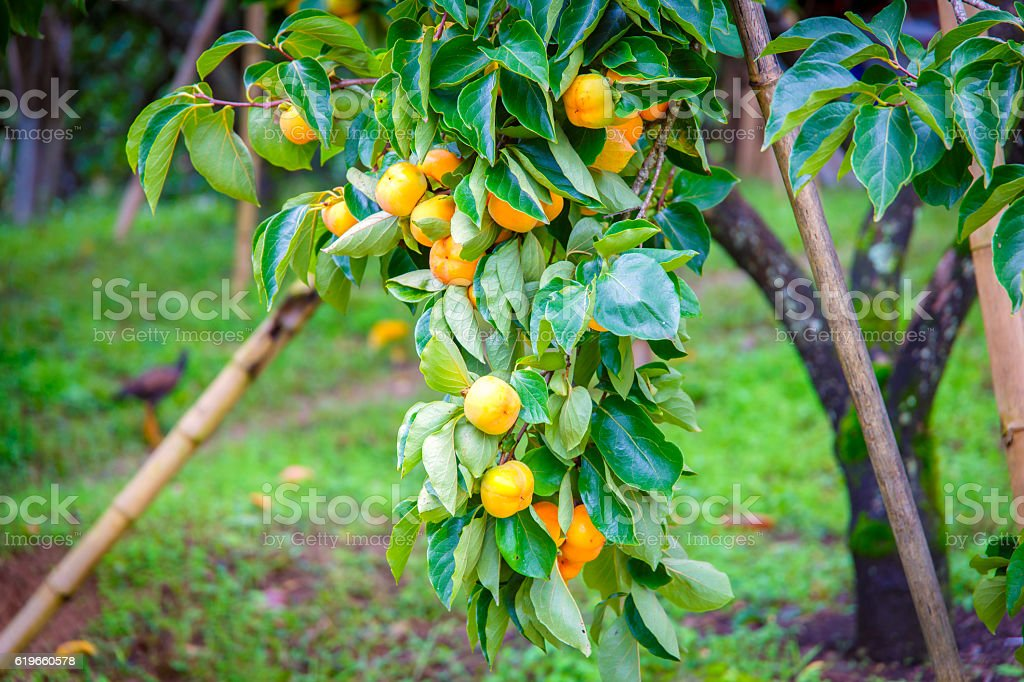 Unripe persimmon & fresh green leaves at Chiang Mai stock photo