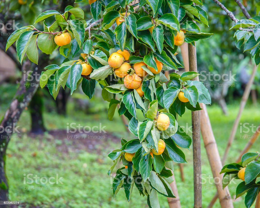 Unripe persimmon & fresh green stock photo