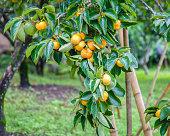 Unripe persimmon & fresh green