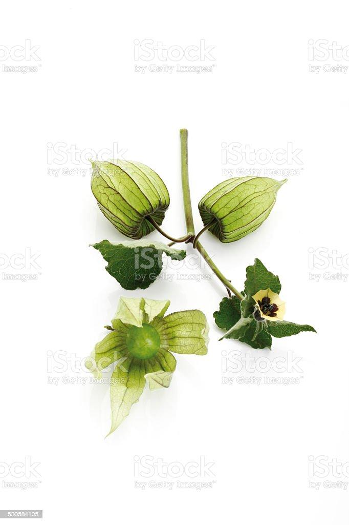 Unripe Physalis fruit (Physalis peruviana) stock photo
