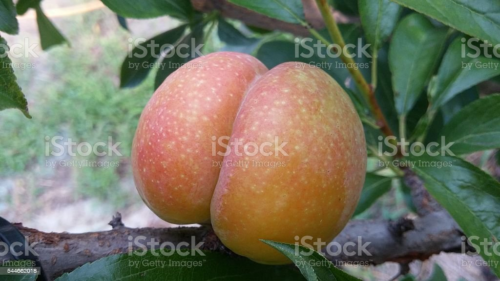 Unripe plums stock photo
