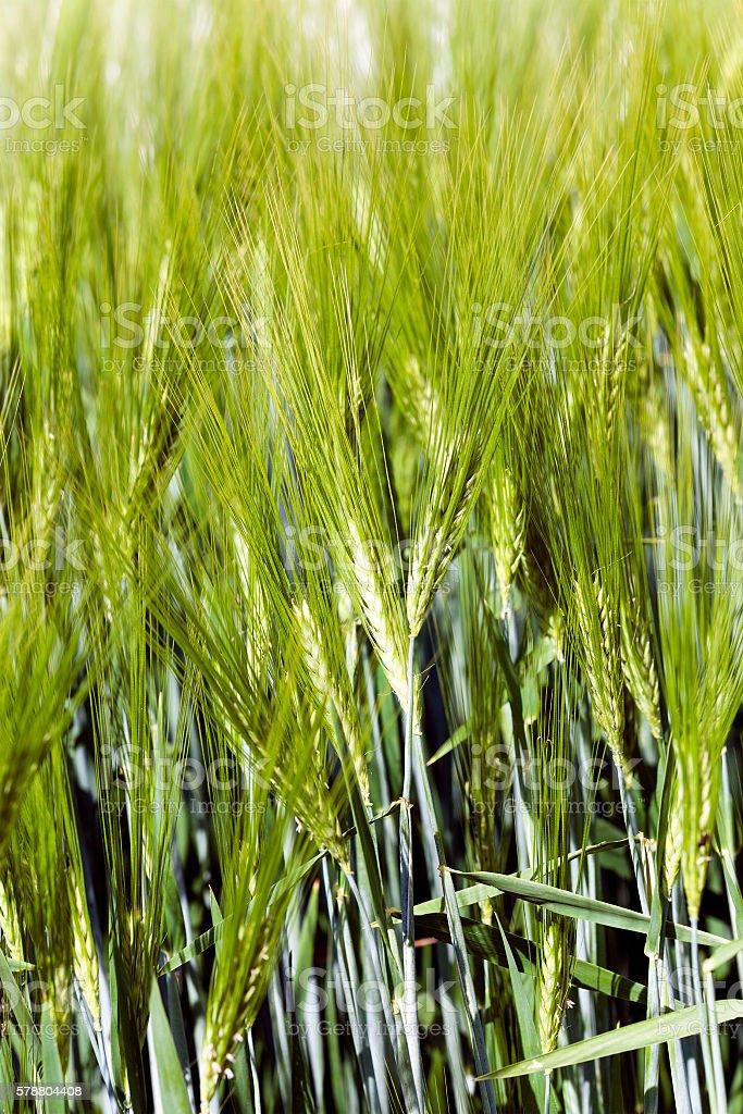 unripe wheat germ stock photo