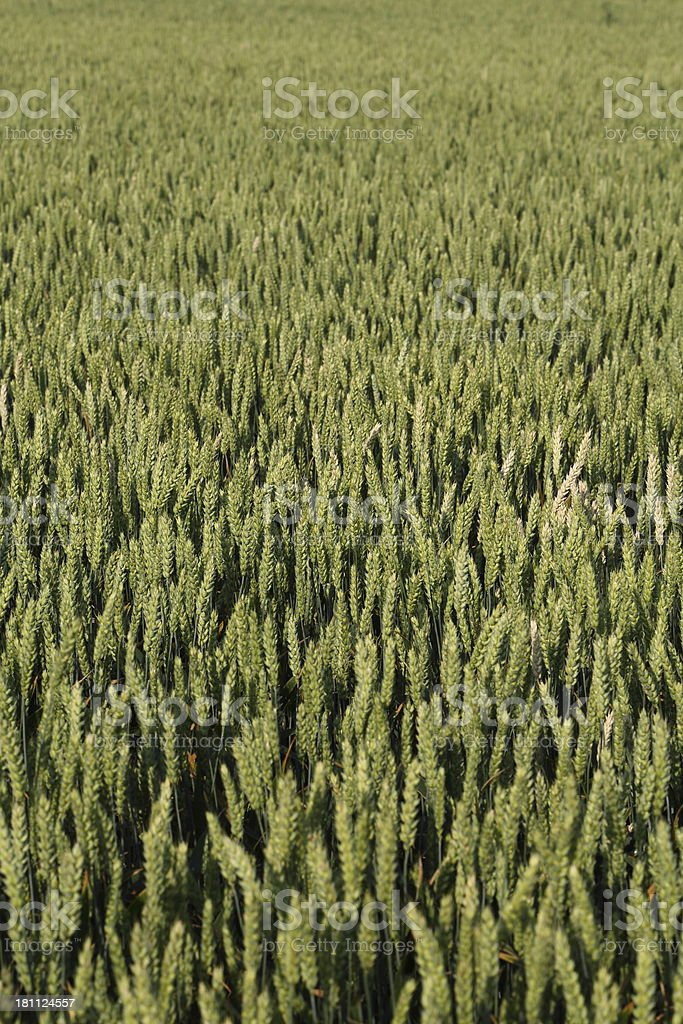 Unripe wheat - green crop royalty-free stock photo