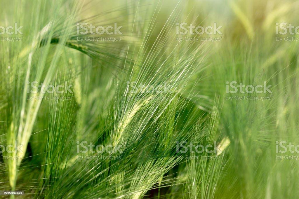 Unripe wheat (wheat field) - green wheat field stock photo