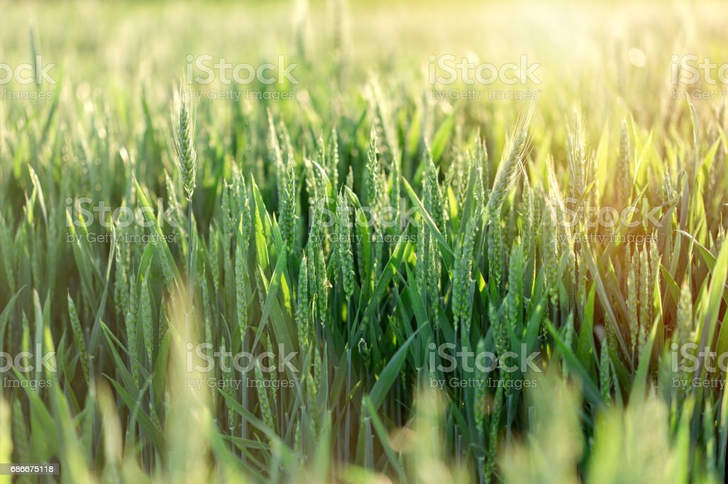Unripe wheat (green wheat field) stock photo
