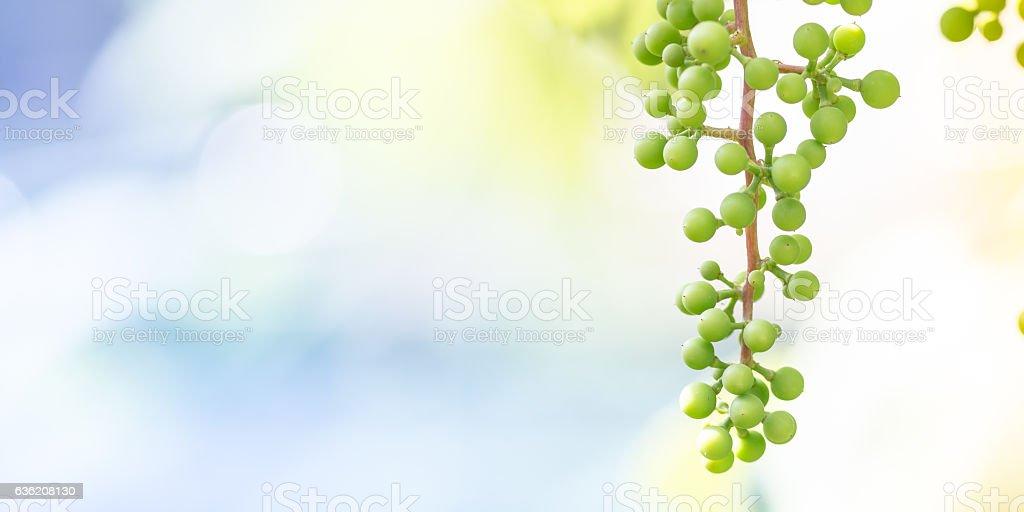 Unripe white grapes in a vineyard stock photo
